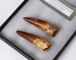 2 Fossil Dinosaur Tooth From a Spinosaurus aegyptiacus, In case  SU  448
