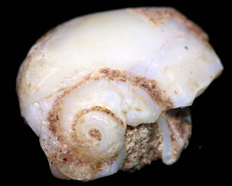 2.25 cts opalised gastropod snail coober pedy   FO-1549