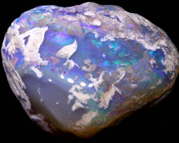 63.90 CTS  CLAM SHELL OPALISED FOSSIL  FO-1648 fossilopals