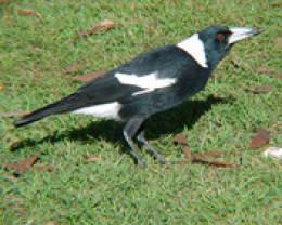 Photo of a magpie -not included