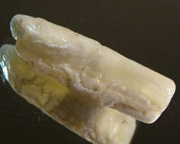 15.60 CTS FOSSIL BELEMNITE  FO-92