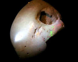 OLD STOCK SOLID SHELL OPAL 51.74CTS 0886
