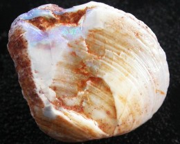 Nice specimen showing shell contours both sides.Hint of blue colour.