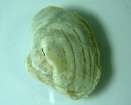 PREHISTORIC COOBER PEDY FOSSIL SHELL  CPS1/35