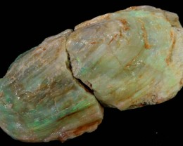 231.05 CTS LARGE MUSSEL SHELL FROM LIGHTNING RIDGE [SOF14]