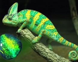 Black Opal  with stunning Reptile skin Pattern   SU 539