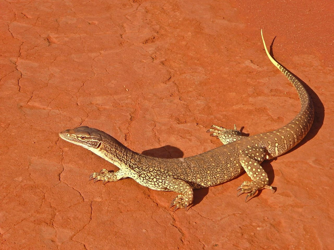 A List Of Australian Outback Animals Found In The Opal Fields