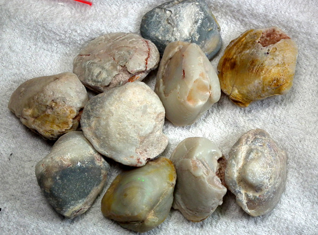 627 CTS  10 PCS  CLAM SHELL FOSSIL   FO-703